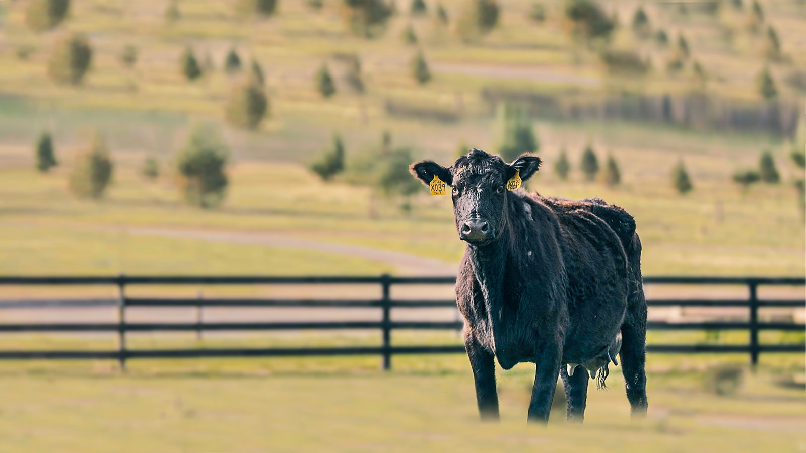 Roseda Black Angus Cattle