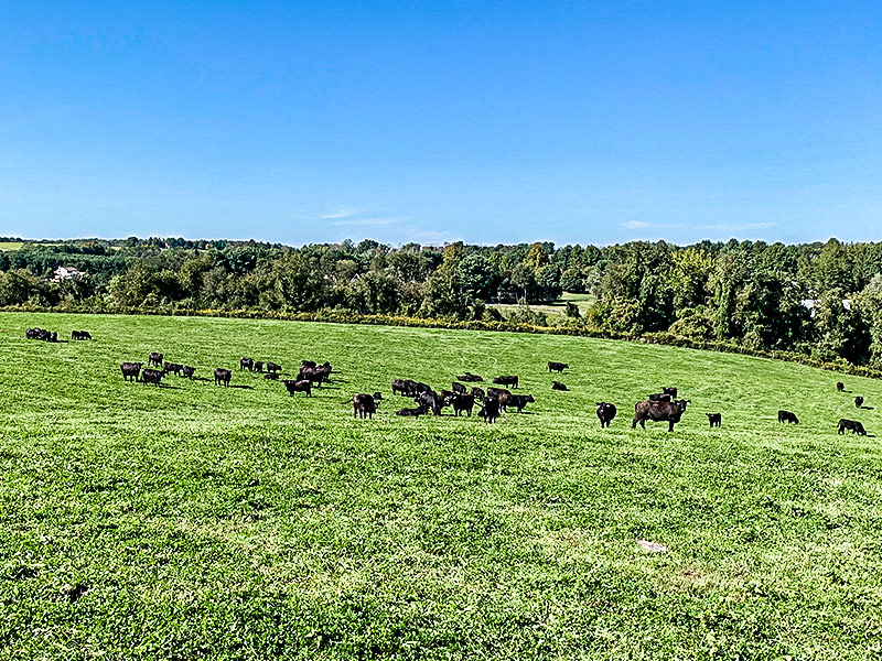 roseda black angus cows in field